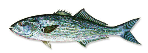 Bluefish1x1
