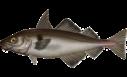 200px-Melanogrammus_aeglefinus