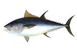 250px-Bluefin-big