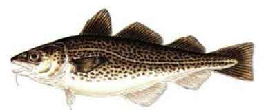 codfish-398-159