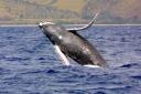 humpbackwhale_noaa_300