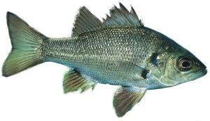 Australian-bass-500