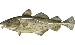 cod_atlanticFNL_RR_NB_Species