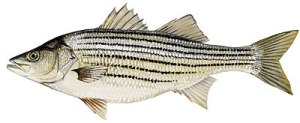 Striped_Bass