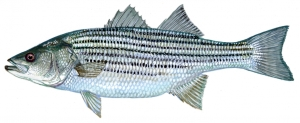 19-striped-bass-1084x445