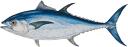 bluefin-tuna-708