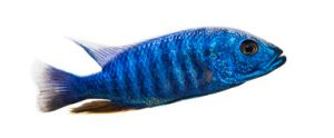 side-view-electric-blue-hap-sciaenochromis-ahli-isolated-37850027