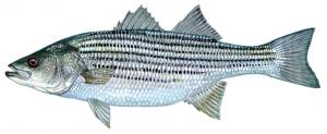 19-striped-bass-1084x445