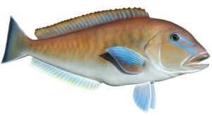 30_inch_Blueline_Tilefish-p-1015