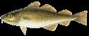 cod-atlantic