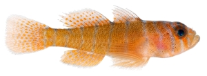 Animal-Fish-Photo-Priolepis-hipoliti-Adult-Rusty-Goby