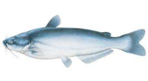 fish_catfish_blue