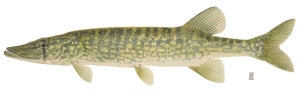 chain_pickerel