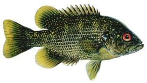 roanoke-bass-large