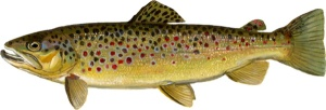 brown_trout