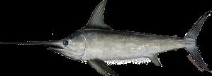 north_atlantic_swordfish