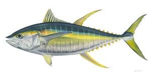 yellowfin_tuna1