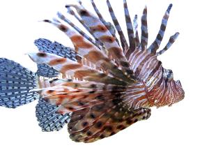 Lion-Fish-2-png_301559_ver1.0