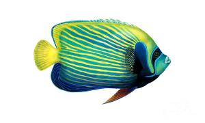 illustration-of-an-emperor-angelfish-carlyn-iverson