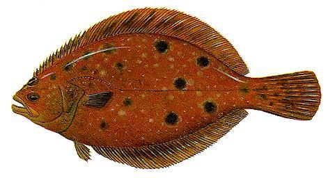 summer_flounder.10245319