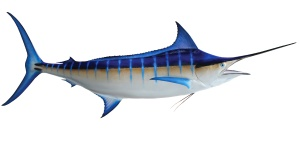 Blue-Marlin-Zoom