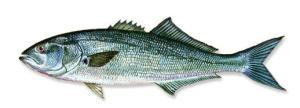 Bluefish1x1
