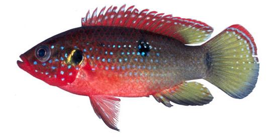 African-jewel-fish