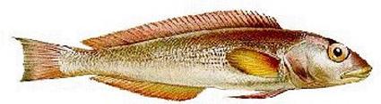 NAMORADO (Pseudopercis numida)