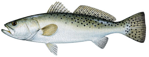 spotted-sea-trout
