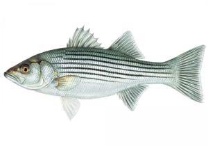 striped_bass_10-25-10_1