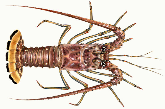 caribbeanspinylobster_560_2