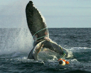 gallery_whale_entangled