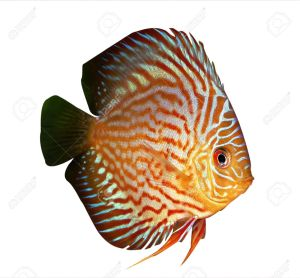 2269092-symphysodon-discus-fish-on-a-white-background-stock-photo