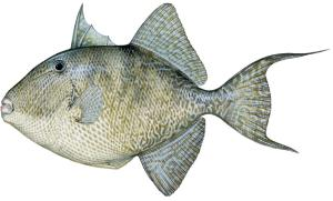 fwc_triggerfish-1066x645