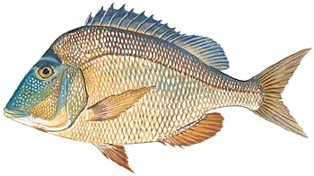 knobbed-porgy