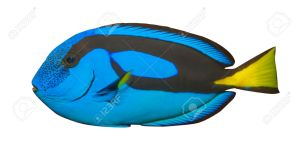 27993873-blue-tang-regal-tang-isolated-on-white-background-paracanthurus-hepatus-stock-photo