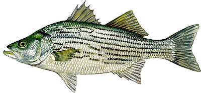 hybrid_striped_bass