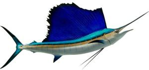 sailfish-atlantic-c-67